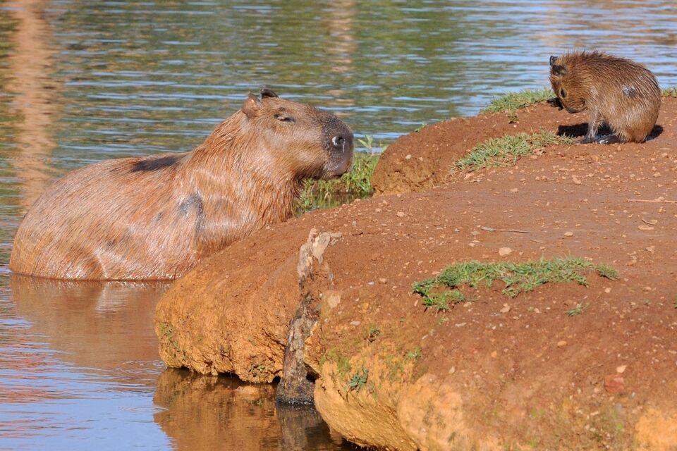 Capivaras no Lago Paranoá, em Brasília